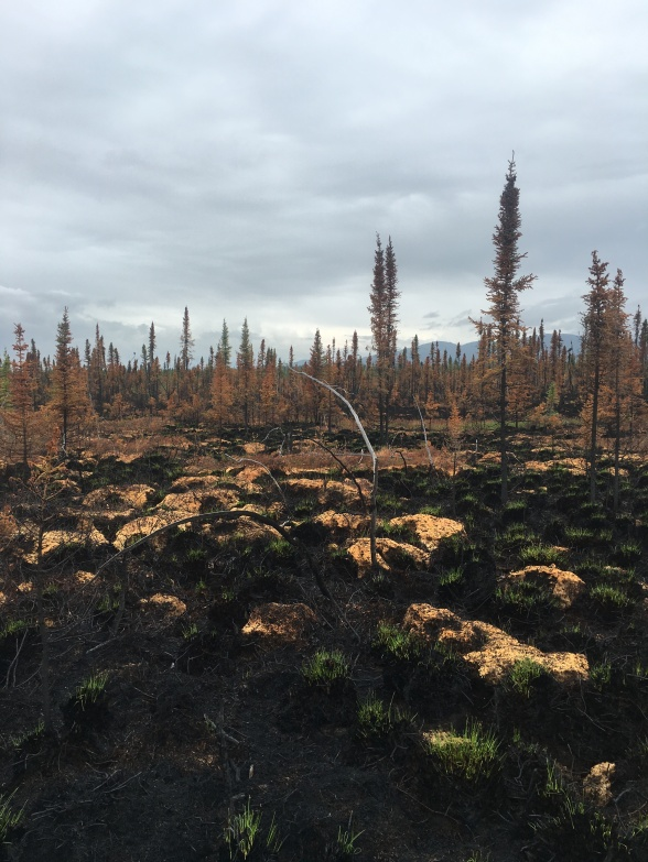 Green grass is returning to a burnt section of the Chebanika Creek (#364) fire.