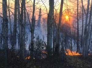 Surface fuels burn in the Moose Creek Fire late Saturday afternoon near Sutton. The fire is now estimated at 216 acres and there are 50 personnel working to suppress it. Photo by Sarah Saarloos/Alaska Division of Forestry