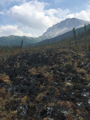 A burned area of the Dietrich River Fire (#304) on Monday, July 10, 2017. The lightning-caused fire is burning along the Dalton Highway near Mile 224. Kelly Lewis / BLM Alaska Fire Service