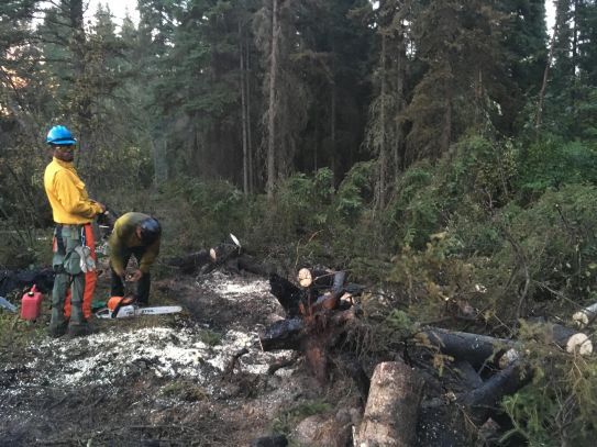 Alaska Division of Forestry Firefighters Carlton Story, on left, and Eugene Lee, prepare to cut up white spruce trees that have fallen onto the fire to prevent flames from hiding under the trees. Alaska Division of Forestry photo.