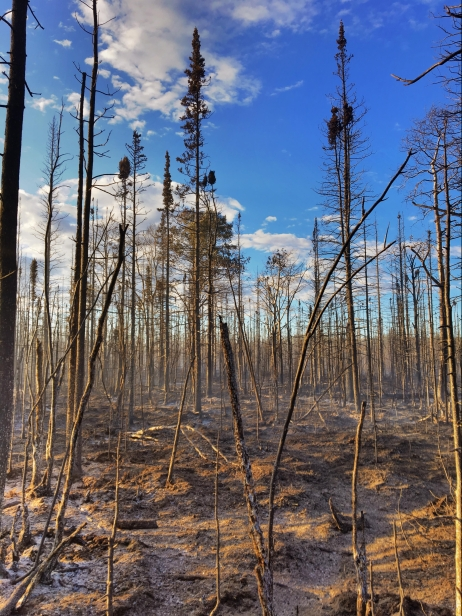 The Chistochina River Fire (#381) has burned 98 acres of mostly black spruce. Photo by Josh Turnbow//University of Alaska-Fairbanks Nanook Fire Crew