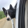 Photo of bear dog in truck
