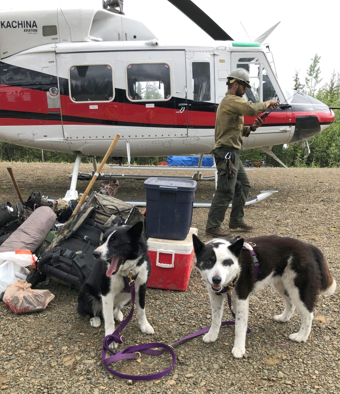 Karelian bear dogs ready to load for helicopter transport