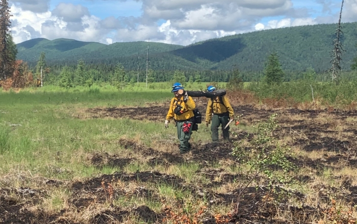 Two firefighters on the About Mountain Fire carry a log through a tussock-filled meadow to build a bridge to reach inaccessible sections of the fire on Monday, June 21, 2021.