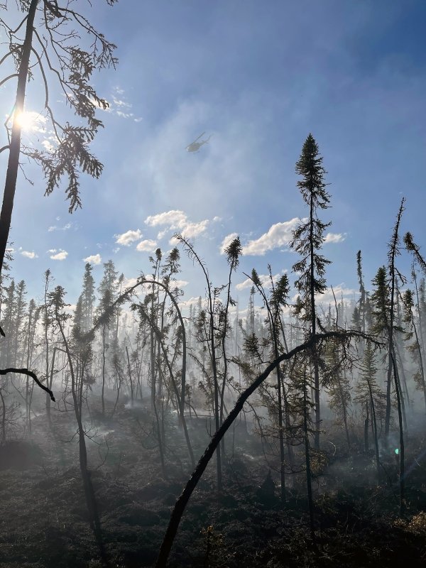 A helicopter flying over burned black spruce trees.