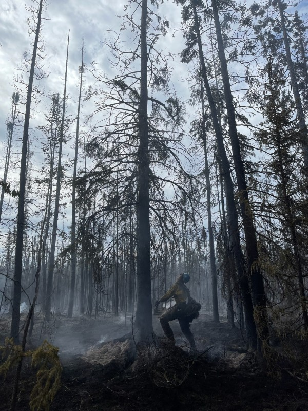 A member of the UAF Nanooks Crew cuts down a black spruce tree during initial attack of the Brock Road Fire on Sunday, June 27, 2021.